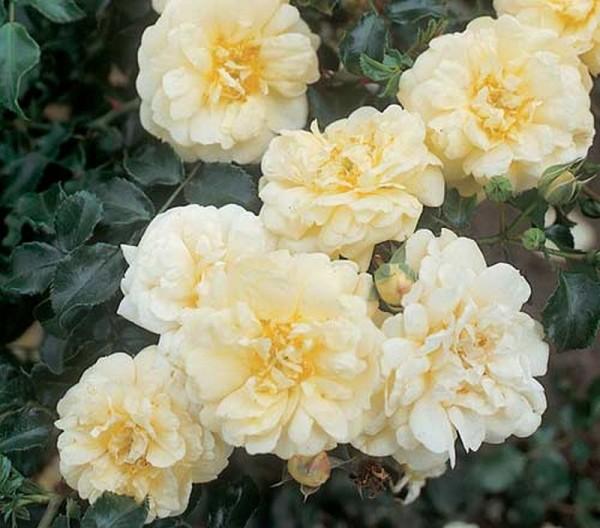 Bodendeckende Rose 'Sunny Rose' ® ADR-Rose-1