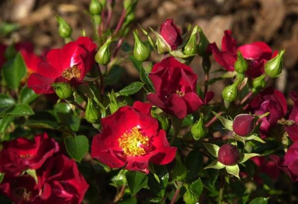 Bodendeckende Rose 'Bassino' ®-1
