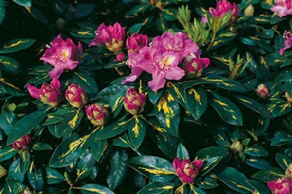 Rhododendron-Hybride 'Goldflimmer'-1
