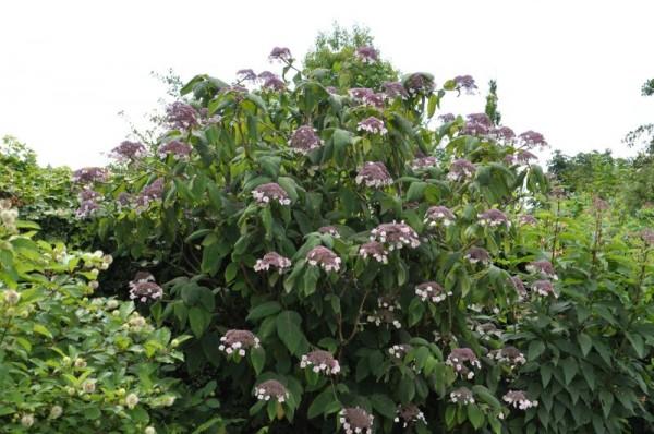 Fellhortensie 'Macrophylla'-1