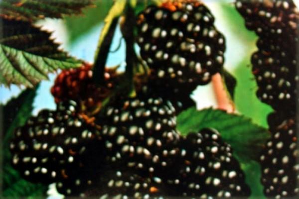 Brombeere 'Thornless Evergreen'-1