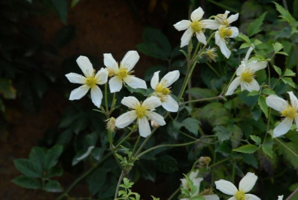 Gold-Waldrebe 'Anita'-1