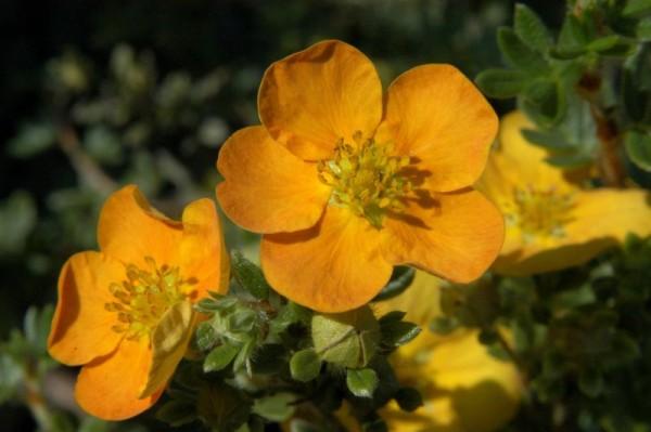Fingerstrauch 'Tangerine'-1