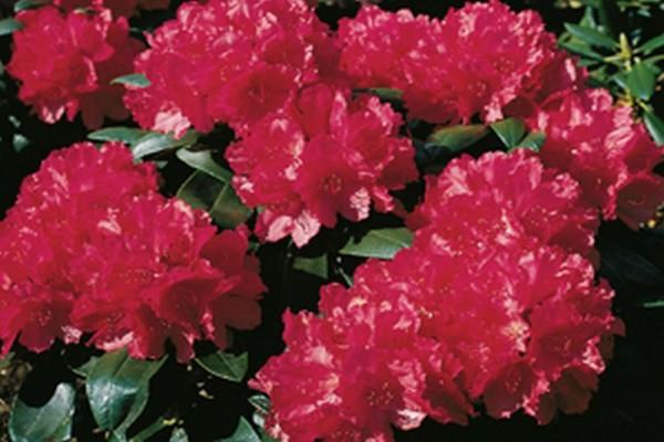 Yaku-Rhododendron 'Astrid' ®-1