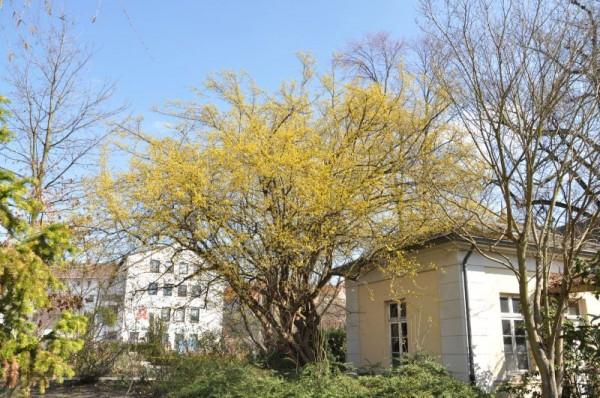 Kornelkirsche Baum/Hausbaum-1