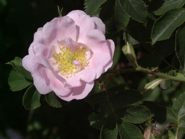 Rose agrestis-1