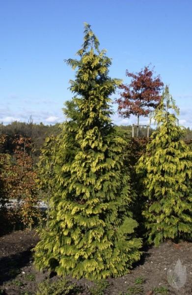 Gelbe Säulenzypresse-1