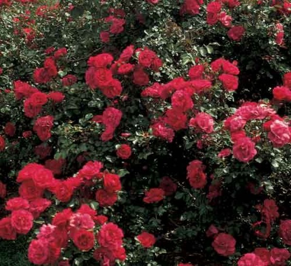 Strauchrose 'Rote Woge' ® ADR-Rose-1
