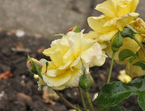 Zwergrose 'Sonnenröschen' ® ADR-Rose-1