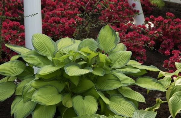 Graublättrige, gelbgrüne Garten-Funkie-1