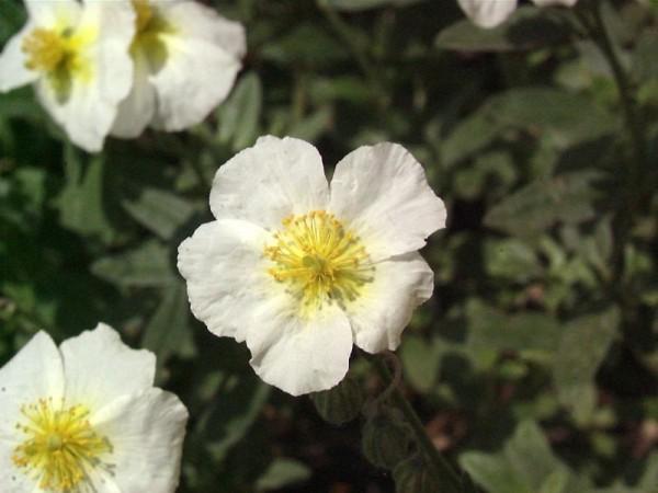 Garten-Sonnenröschen-1