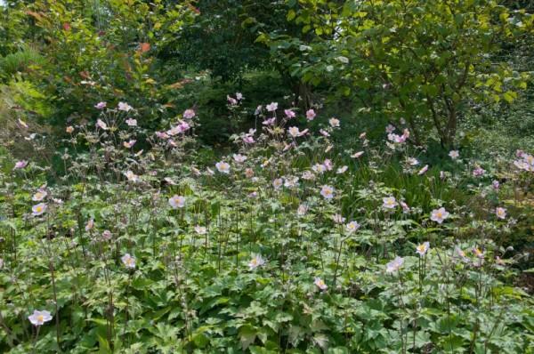 Garten-Herbst-Anemone-1