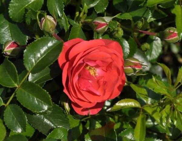 Bodendeckende Rose 'Sorrento' ® ADR-Rose-1
