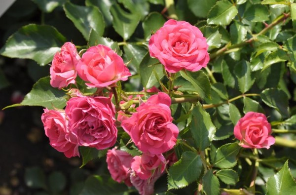 Zwergrose 'Roxy' ® ADR-Rose-1