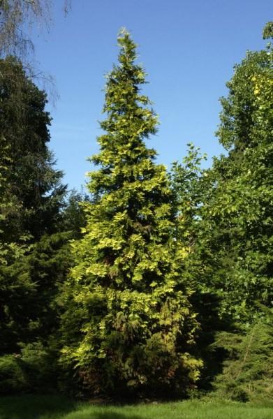 Gartenzypresse 'Ivonne'-1