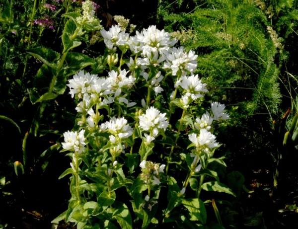 Garten-Knäuel-Glockenblume-1
