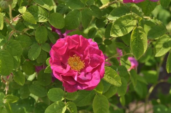 Strauchrose gallica officinalis-1