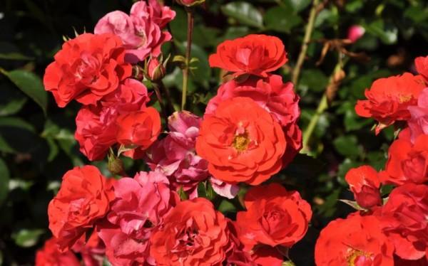 Beetrose 'Canzonetta' ® ADR-Rose-1