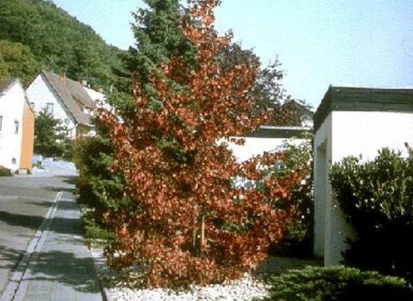 Amerikanischer Amberbaum-1