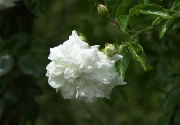 Edelrose 'La Perla' ® ADR-Rose-1