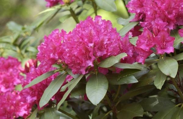 Rhododendron-Hybride 'Mrs.P.den Ouden'-1