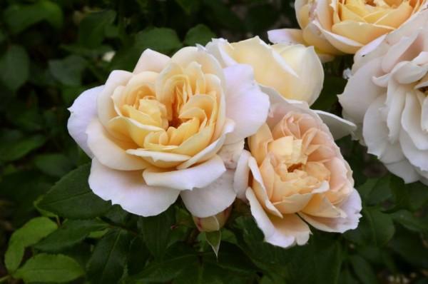 Beetrose 'Lions-Rose' ® ADR-Rose-1