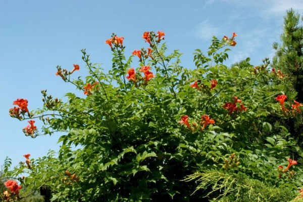 Große Kletter-Trompetenblume 'Mme Galen'-1