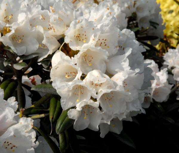 Yaku-Rhododendron 'Edelweiß'-1