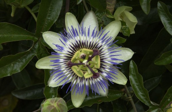 Blaue Passionsblume-1