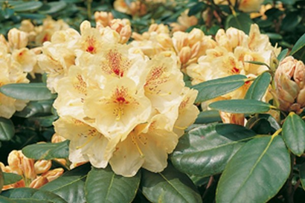 Rhododendron-Hybride 'Goldbukett'-1