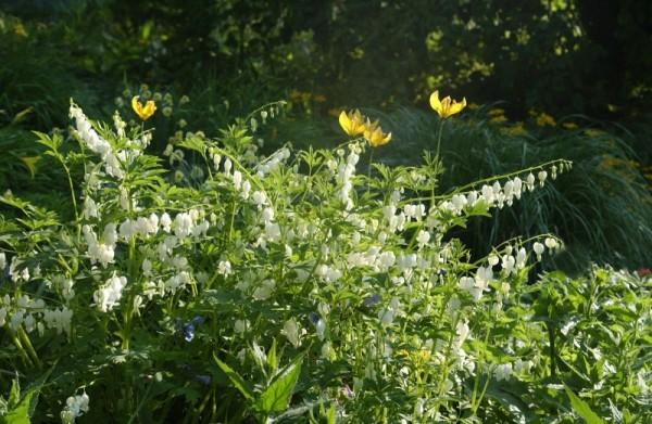 Hohe Garten-Herzblume, Tränendes Herz-1