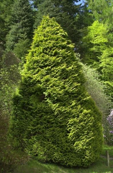 Gartenzypresse 'Lane'-1