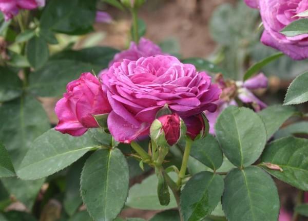 Zwergrose 'Heidi Klum-Rose' ®-1
