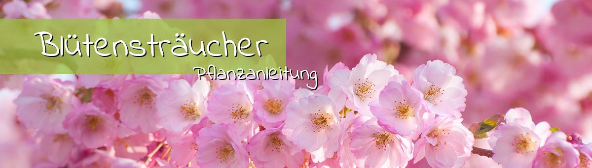 Blütensträucher Pflanzanleitung